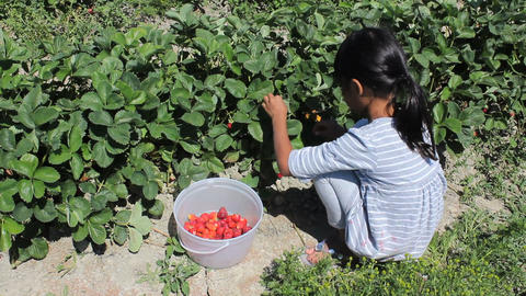 Little Girl Picks Fresh Strawberries Stock Video Footage