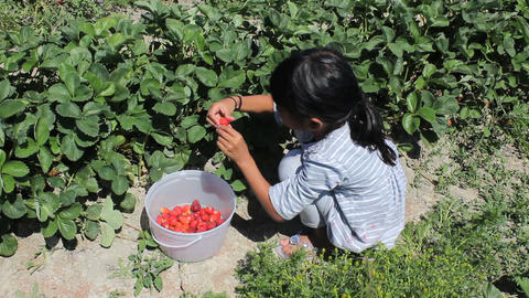 Little Girl Picks Fresh Strawberries Stock Video Footage