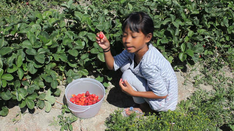 Little Girl Picks Fresh Strawberries Footage