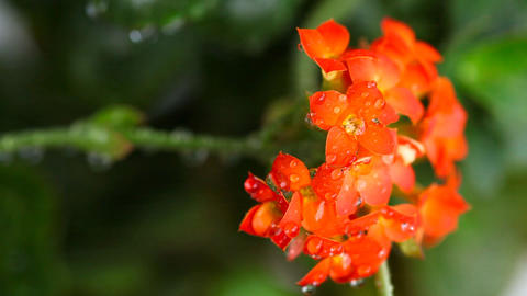 Red kalanchoe Stock Video Footage