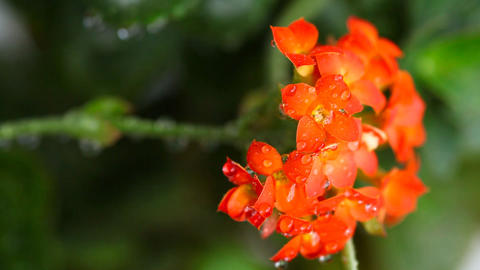 Red kalanchoe Footage