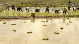 Farmers Transplanting Rice Seedlings in Paddy Stock Video Footage