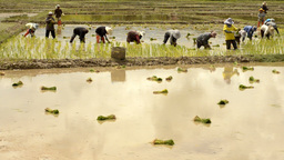 Farmers Transplanting Rice Seedlings in Paddy Footage