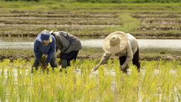 Thai Farmers Planting Rice Seedlings in a Rice Pad Stock Video Footage