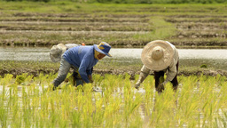 Thai Farmers Planting Rice Seedlings in a Rice Pad Footage