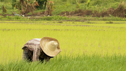 Thai Farmer Working in a Rice Field Footage