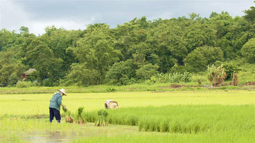 Thai Farmers Working in a Rice Paddy Stock Video Footage