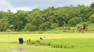 Thai Farmers Working in a Rice Paddy Footage