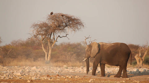 African elephant in the dust Stock Video Footage
