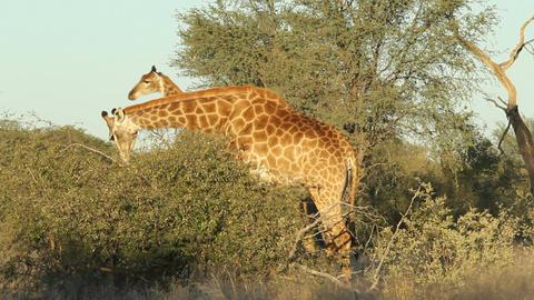 Feeding giraffe Stock Video Footage