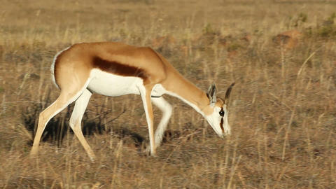Springbok antelope Stock Video Footage