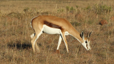 Springbok antelope Stock Video Footage