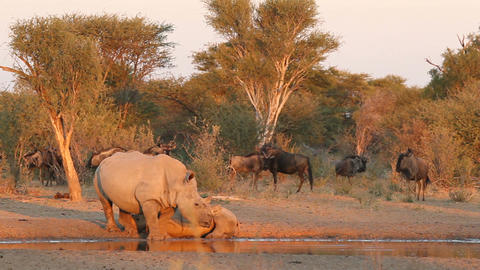 White rhinoceros and calf Stock Video Footage