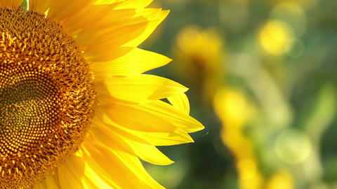 Sunflower in the sunshine Stock Video Footage