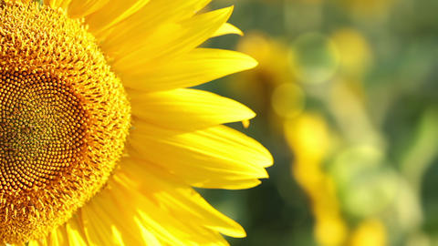 Sunflower in the sunshine Footage