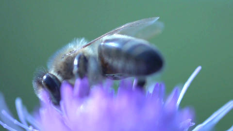 Bee extreme close up Live Action