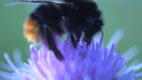 Bumblebee extreme close up Stock Video Footage