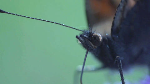 butterfly extreme close up Live Action