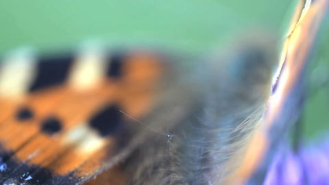 butterfly wing Stock Video Footage