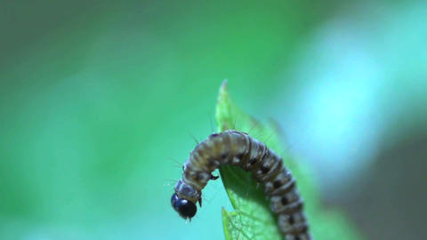 caterpillar in slow motion Footage