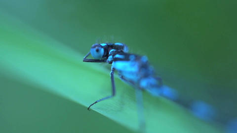 Blue dragonfly extreme close up Live Action