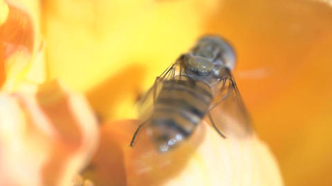 Hoverfly flying away Stock Video Footage
