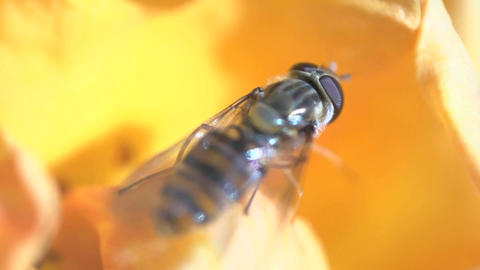 Hoverfly flying away Footage