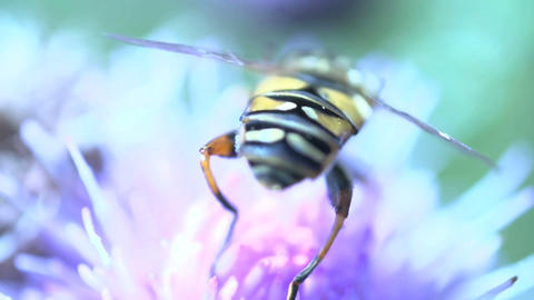 Hoverfly extreme close Stock Video Footage
