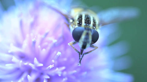 Hoverfly extreme close up Live Action
