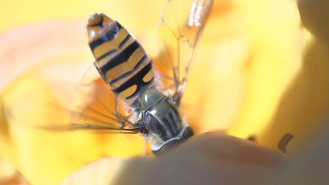 hoverfly eating nectar Stock Video Footage
