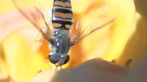 hoverfly eating nectar Live Action