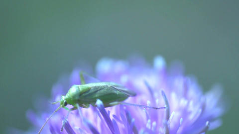 Little green insect Footage