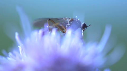 Mosquito extreme close up Stock Video Footage