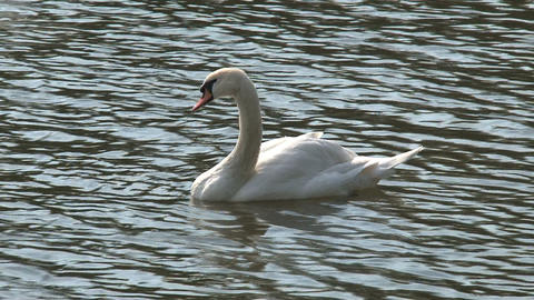Swan in vltava river, Prague Footage