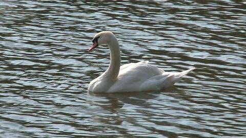 Swan in vltava river, Prague Footage