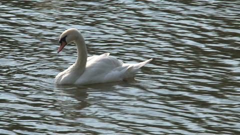 Swan in vltava river, Prague Stock Video Footage