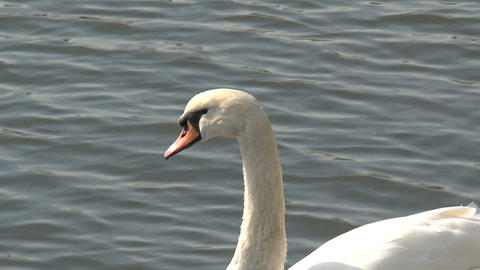 Swan stretching his wing Stock Video Footage