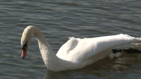 Swan Stretching His Wing stock footage
