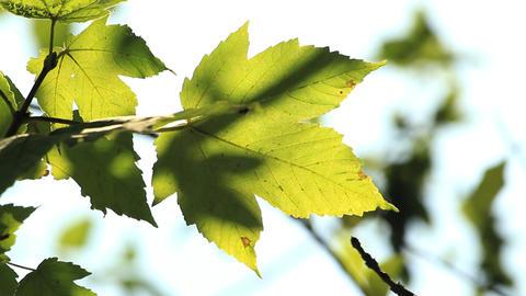 Sun through leaves Stock Video Footage