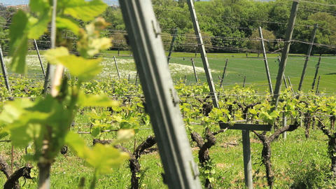 Vineyard - DOLLY Stock Video Footage