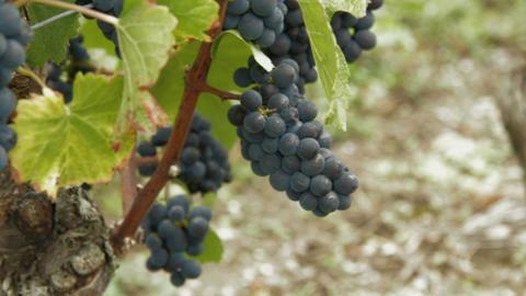 Vineyard - DOLLY ビデオ
