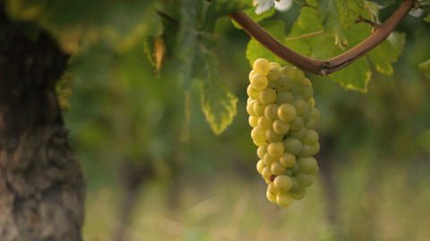Vineyard - DOLLY stock footage
