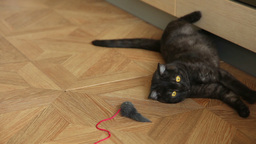 Playful cat Stock Video Footage