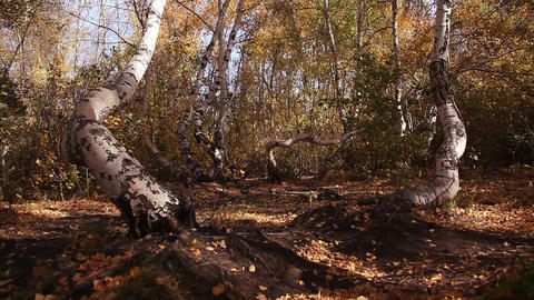 Autumn birch wood. Ecology concept Stock Video Footage