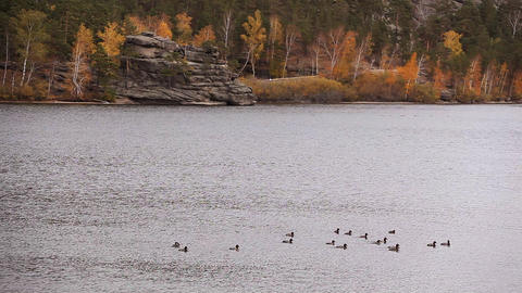Ducks float on the lake Stock Video Footage