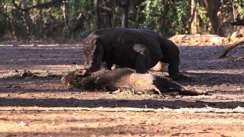 Komodo Dragon bite the victim Stock Video Footage