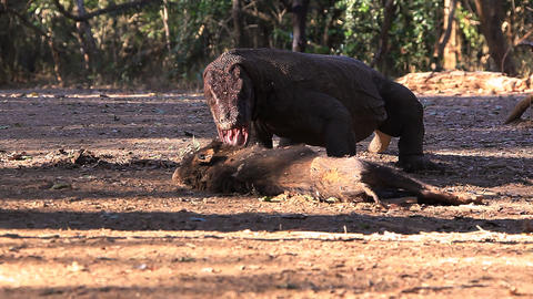 Komodo Dragon bite the victim Stock Video Footage