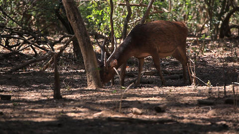 The deer slowly goes to the wood Stock Video Footage