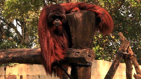Orangutan shows teeth Footage