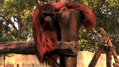 Orangutan shows teeth Stock Video Footage
